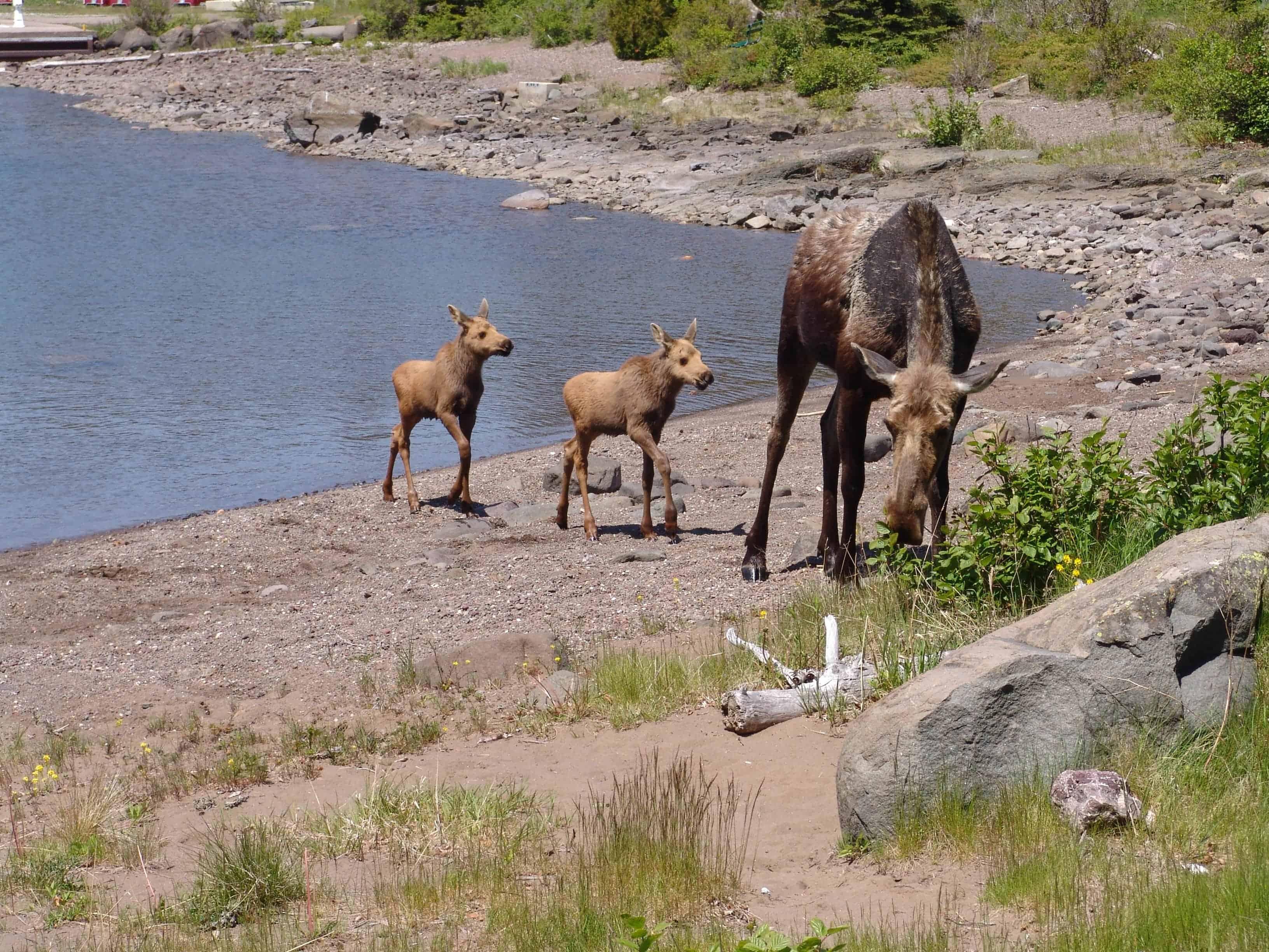 Resort Wildlife | Isle Royale Resorts | Forever Resort Careers
